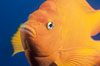 The bright orange garibaldi fish, California's state marine fish, is also clownlike in appearance. California, USA. Image #02416