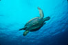 Green sea turtle. Galapagos Islands, Ecuador. Image #02428