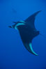 Manta ray. San Benedicto Island (Islas Revillagigedos), Baja California, Mexico. Image #02443