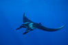 Manta ray. San Benedicto Island (Islas Revillagigedos), Baja California, Mexico. Image #02445
