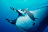 Manta ray and remora. San Benedicto Island (Islas Revillagigedos), Baja California, Mexico. Image #02456