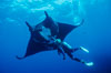 Manta ray and scuba diver. San Benedicto Island (Islas Revillagigedos), Baja California, Mexico. Image #02461