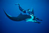 Manta ray and freediver. San Benedicto Island (Islas Revillagigedos), Baja California, Mexico. Image #02462