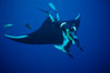 Manta ray and freediver. San Benedicto Island (Islas Revillagigedos), Baja California, Mexico. Image #02464