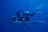 Manta ray and scuba diver. San Benedicto Island (Islas Revillagigedos), Baja California, Mexico. Image #02465