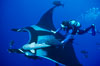 Manta ray and scuba diver. San Benedicto Island (Islas Revillagigedos), Baja California, Mexico. Image #02466