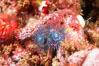 Christmas tree worm. San Miguel Island, California, USA. Image #02564