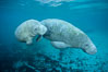 Two Florida manatees, or West Indian Manatees, swim together in the clear waters of Crystal River.  Florida manatees are endangered. Three Sisters Springs, Crystal River, Florida, USA. Image #02628
