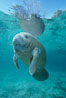 A Florida manatee, or West Indian Manatee, hovers in the clear waters of Crystal River. Three Sisters Springs, Crystal River, Florida, USA. Image #02653