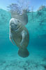 A Florida manatee, or West Indian Manatee, hovers in the clear waters of Crystal River. Three Sisters Springs, Crystal River, Florida, USA. Image #02654