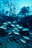 Mangrove snapper. Three Sisters Springs, Crystal River, Florida, USA. Image #02679