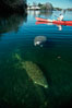 West Indian manatee and volunteer observer, Homosassa State Park. Homosassa River, Homosassa, Florida, USA. Image #02791