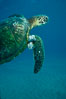 Green sea turtle exhibiting fibropapilloma tumors, West Maui. Maui, Hawaii, USA. Image #02835