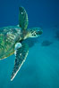 Green sea turtle exhibiting fibropapilloma tumors, West Maui. Maui, Hawaii, USA. Image #02836