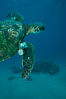 Green sea turtle exhibiting fibropapilloma tumors, West Maui. Maui, Hawaii, USA. Image #02837