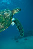 Green sea turtle exhibiting fibropapilloma tumors, West Maui. Maui, Hawaii, USA. Image #02838