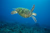 Green sea turtle, West Maui. Maui, Hawaii, USA. Image #02909