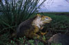 Galapagos land iguana. South Plaza Island, Galapagos Islands, Ecuador. Image #02991
