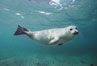 Pacific harbor seal swims in the protected waters of Childrens Pool in La Jolla, California.  This group of harbor seals, which has formed a breeding colony at a small but popular beach near San Diego, is at the center of considerable controversy.  While harbor seals are protected from harassment by the Marine Mammal Protection Act and other legislation, local interests would like to see the seals leave so that people can resume using the beach. La Jolla, California, USA. Image #03018