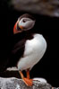 Atlantic puffin, mating coloration. Machias Seal Island, Maine, USA. Image #03118