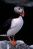 Atlantic puffin, mating coloration. Machias Seal Island, Maine, USA. Image #03119