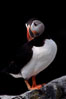 Atlantic puffin, mating coloration. Machias Seal Island, Maine, USA. Image #03120