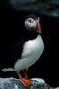 Atlantic puffin, mating coloration. Machias Seal Island, Maine, USA. Image #03121
