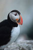 Atlantic puffin, mating coloration. Machias Seal Island, Maine, USA. Image #03122