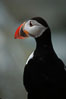 Atlantic puffin, mating coloration. Machias Seal Island, Maine, USA. Image #03123