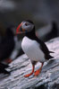 Atlantic puffin, mating coloration. Machias Seal Island, Maine, USA. Image #03126