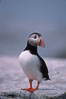 Atlantic puffin, mating coloration. Machias Seal Island, Maine, USA. Image #03127