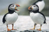 Atlantic puffin, mating coloration. Machias Seal Island, Maine, USA. Image #03135
