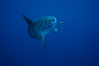 Ocean sunfish, halfmoon perch removing its parasites, open ocean. San Diego, California, USA. Image #03167