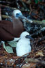 Brown booby, adult and chick at nest. Cocos Island, Costa Rica. Image #03259
