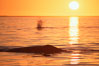 Gray whales at sunset, Laguna San Ignacio. San Ignacio Lagoon, Baja California, Mexico. Image #03387