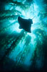 California bat ray swimming amidst giant kelp forest. Santa Barbara Island, California, USA. Image #03414