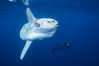 Ocean sunfish and freediving photographer, open ocean. San Diego, California, USA. Image #03491