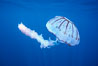 Purple-striped jellyfish. San Diego, California, USA. Image #03777