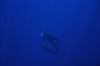 False killer whale. Lanai, Hawaii, USA. Image #04516