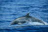 Pacific bottlenose dolphin. Maui, Hawaii, USA. Image #04564