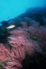 Red gorgonians. San Clemente Island, California, USA. Image #04747