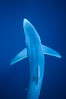 Blue shark, Baja California. Image #04851