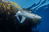 Blue shark and offshore drift kelp paddy, open ocean. Baja California, Mexico. Image #04879