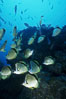 Barberfish. Socorro Island (Islas Revillagigedos), Baja California, Mexico. Image #05061
