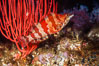 Painted greenling and red gorgonian, Monterey Bay NMS. California, USA. Image #05183