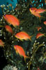 Jewel fairy basslet (female color form), also known as lyretail anthias. Egyptian Red Sea, Egypt. Image #05225