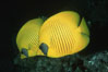 Masked butterflyfish. Egyptian Red Sea. Image #05268