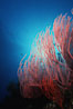 Red gorgonian. San Clemente Island, California, USA. Image #05333