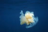 Fried egg jellyfish, open ocean. San Diego, California, USA. Image #05336