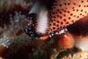 Chestnut cowry, mantle exposed. San Miguel Island, California, USA. Image #05385